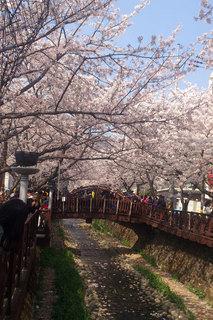 鎮海桜祭り