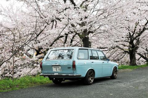桜と510!